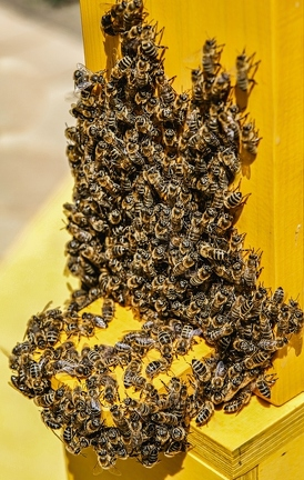 bees-4126064