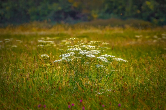 cow-parsley-4115879